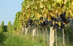 Młode wino w Sandomierzu