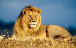 Turysta brutalnie zaatakowany przez lwa