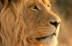 Zimbabwe: lew zagryzł przewodnika turystycznego