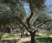 Palestyna porośnięta biblijnymi symbolami