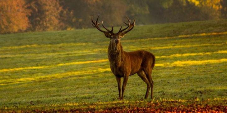 Ryk jelenia w jednym z najpiękniejszych lasów Francji