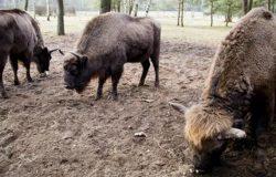Żubry z Białowieskiego Parku Narodowego pojechały do Czech