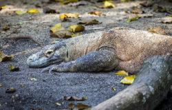 Wyspa Komodo zamknięta dla turystów?