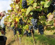 Rondorosse: smak polskiego wina numer jeden w Europie