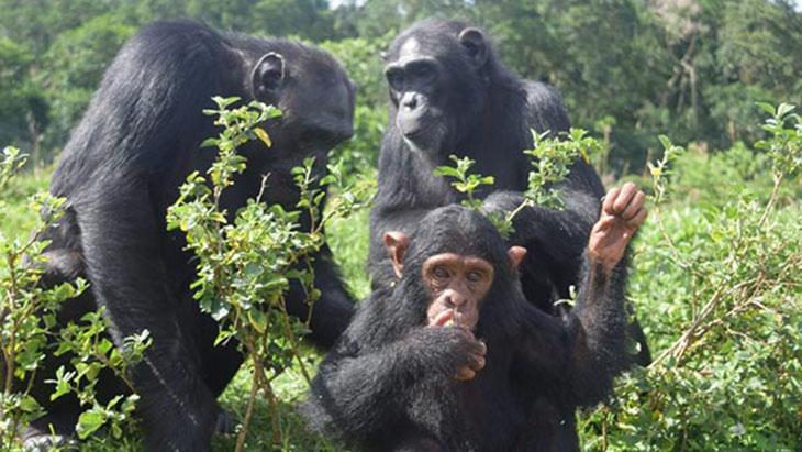 Szympansy w Sanktuarium na Wyspie Ngamba / www.ngambaisland.org