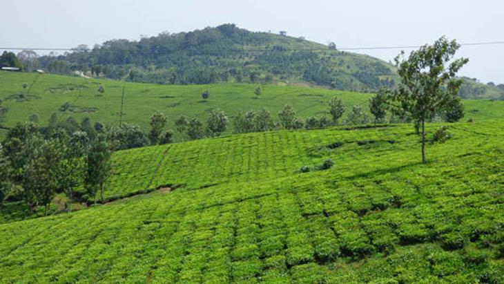 Zielone plantacje herbaty w pobliżu fabryki Igara / www.muzungubloguganda.com