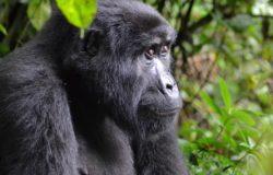 Licencje na podglądanie goryli