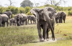 Czas zabijania w Botswanie – zginie 158 słoni
