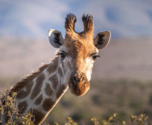Żyrafy w Ugandzie na wolności!