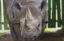 Park Ngorongoro: Pożegnanie z nosorożcem