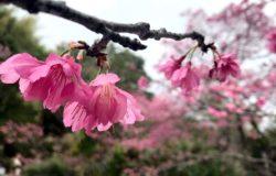 Święto kwiatów wiśni, czyli jak tydzień wydłużyć do miesiąca