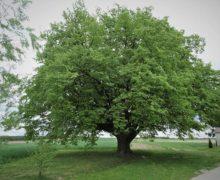 Lipa św. Jana Nepomucena Drzewem Roku 2020