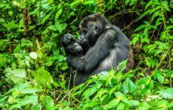 Baby boom w parkach narodowych Ugandy