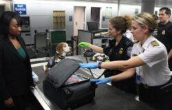Psy na lotnisku w Helsinkach wykrywają koronawirusa u pasażerów