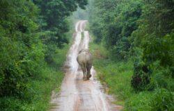 Koronawirus w turystyce. Tajskie słonie wracają pieszo do domu