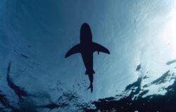 Atak rekina w Australii. Surfer nie żyje