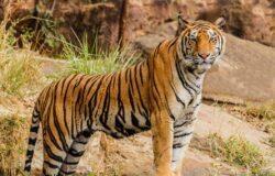 Tygrysy z ZOO w Indonezji zakażone COVID-19