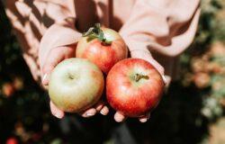 Jabłoń. Królowa jesiennych sadów obchodzi dziś swoje święto